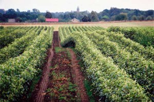 Rośliny sadownicze